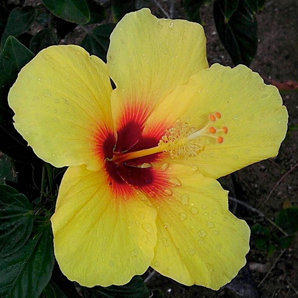 Hibiscus Wikipedia The Free Encyclopedia Hibiscus Flowers Flower Pictures Showy Flowers