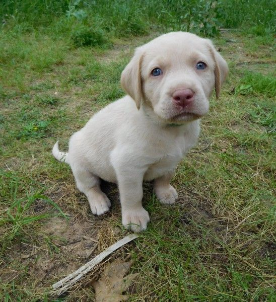 Meet Our Puppies Silver Puppies Labrador Puppies For Sale Lab Puppies