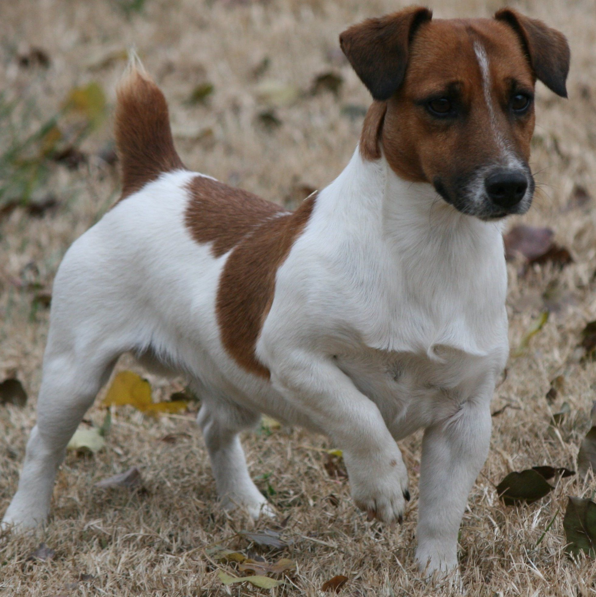 shorty jack russell terrier shorty jack russell terrier male shory legged jack 3591