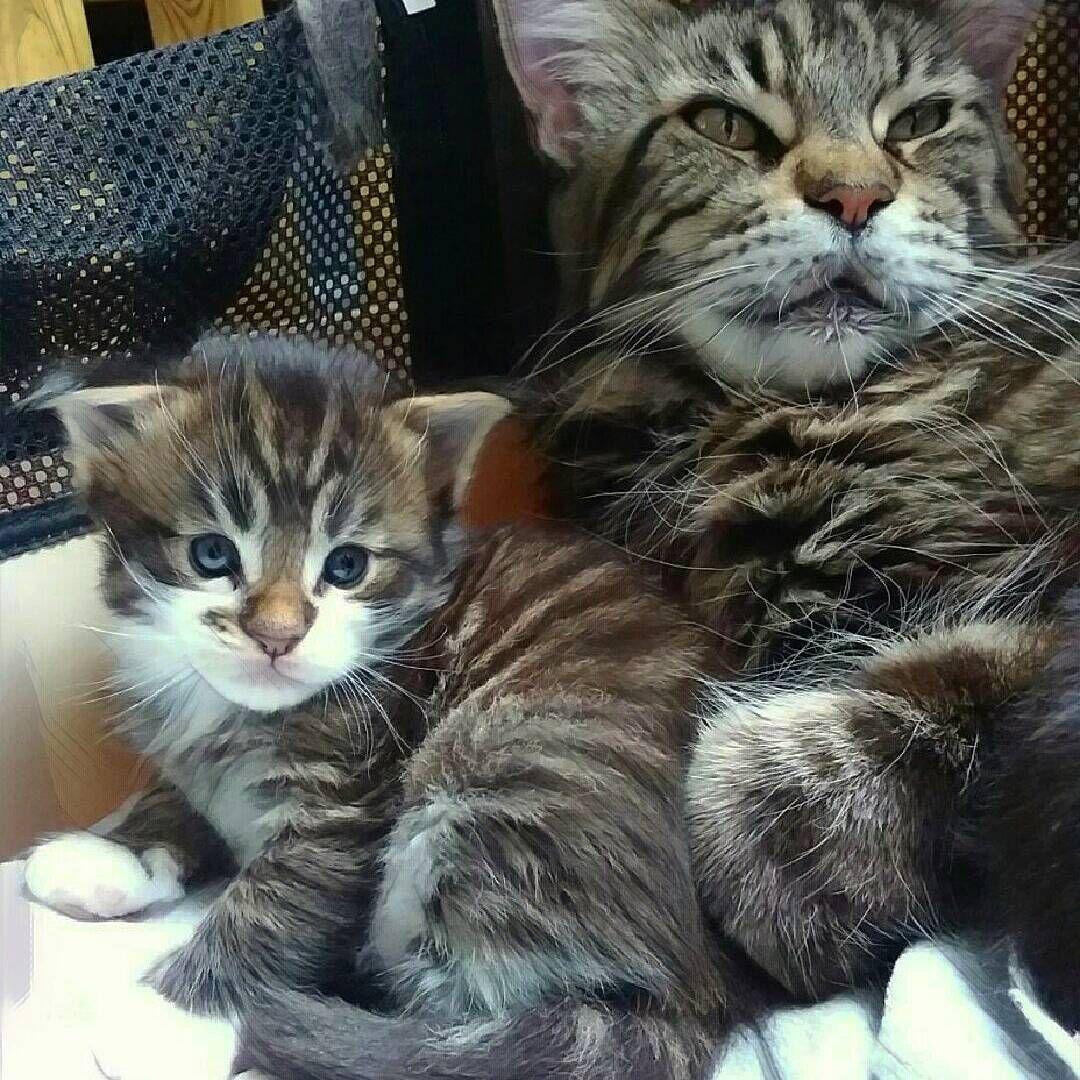 Maine Coon Kittens Mi