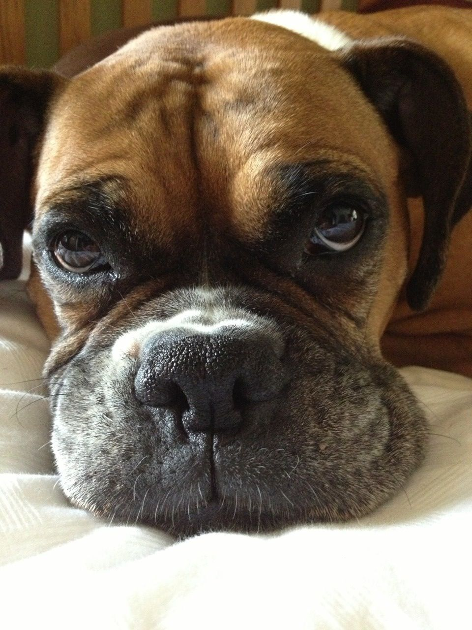 Boxer Energetic and Funny (With images) Boxer dogs