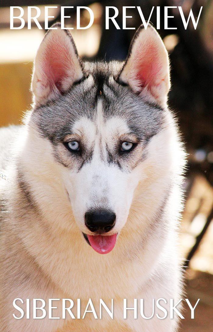 The Siberian Husky Dog Breed Information Center Funny Talking