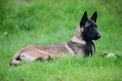 Belgian Malinois Love These Dogs I Need One Very Badly Malinois Belgian Malinois Belgium Malinois