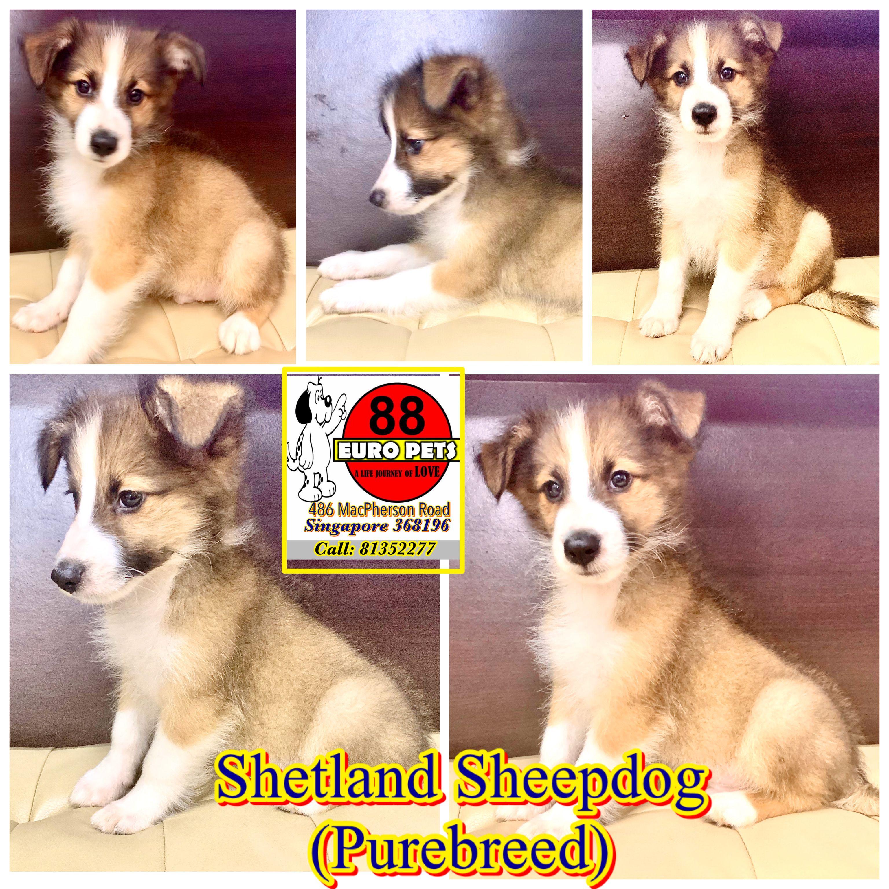 88europets 88europets88 Shetlandsheepdogforsale Sheltie Puppiesforsale Singapore Shetland Sheepdog Puppies Pomeranian Puppy For Sale Shetland Sheepdog