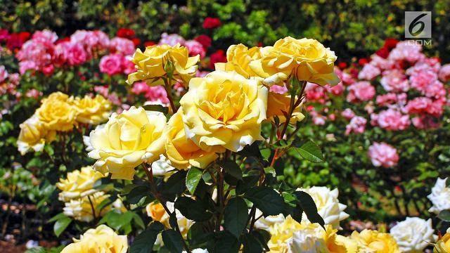 Gambar Bunga Yang Paling Indah 7 Taman Bunga Terindah Di Dunia Saat Musim Semi Lifestyle Liputan6 Com Tiga 3 Jenis Bunga Ter Di 2020 Mawar Taman Menanam Bunga Bunga