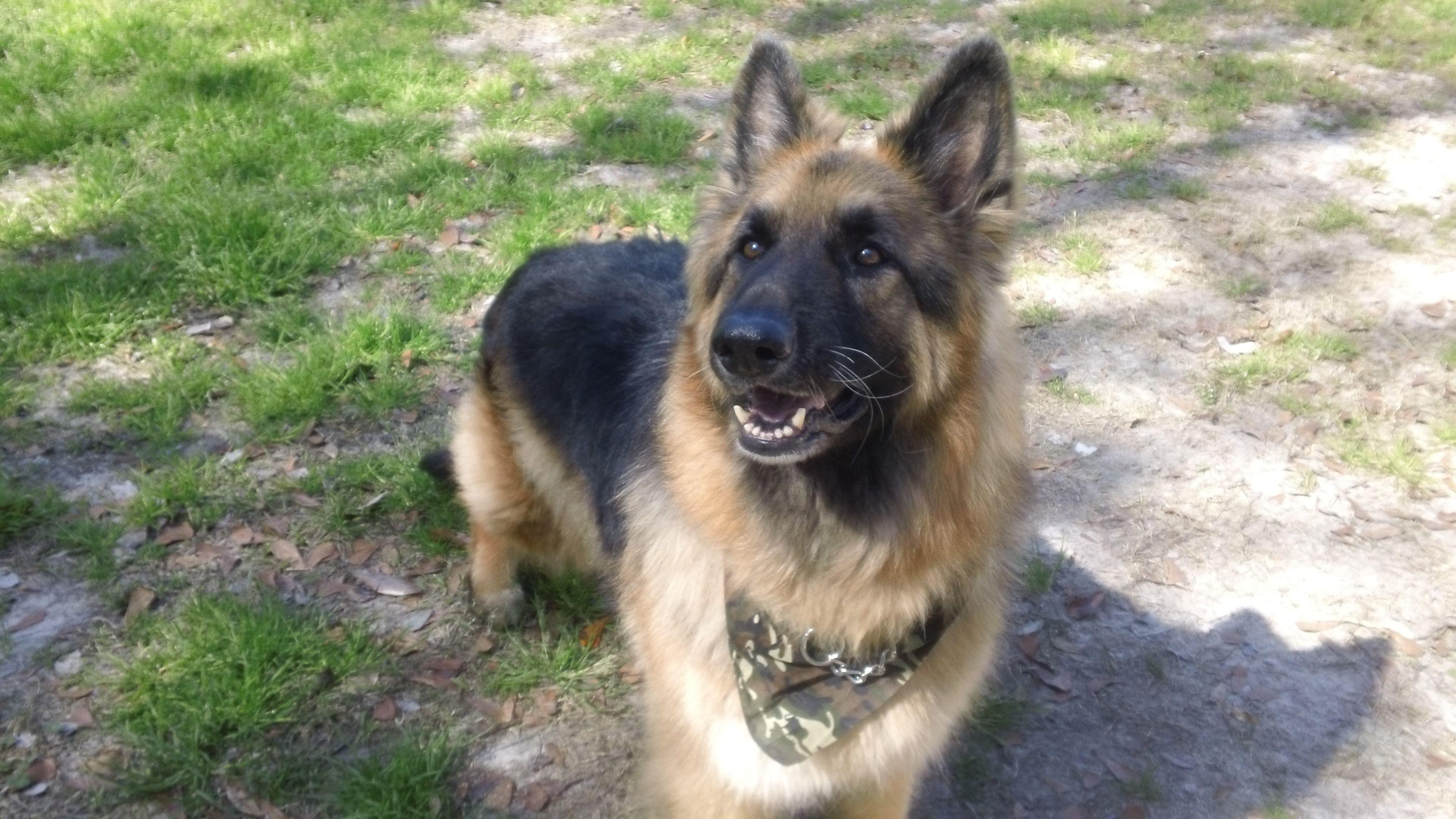 Rescued GSD German shepherd dogs, Shepherd dog, German
