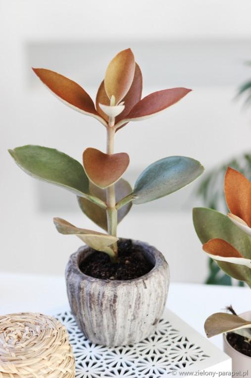 Kalanchoe Orgyalis Zielony Parapet Plants Parapet