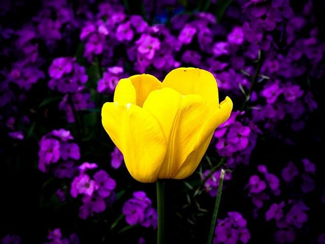 Complementary Colors Yellow And Purple Google Search Purple Yellow Purple Aesthetic Purple Flowers