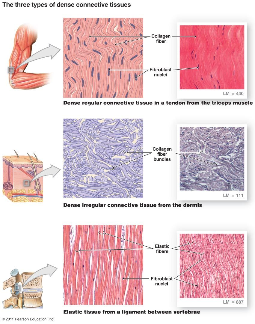 cardiac tissue diagram dense irregular connective tissue labeled - google search ...