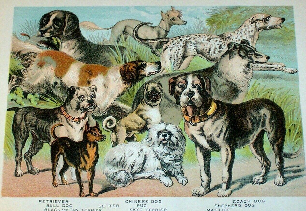 1880 Dogs Antique Color Lithograph Pug Terriers Dalmatian Mastiff