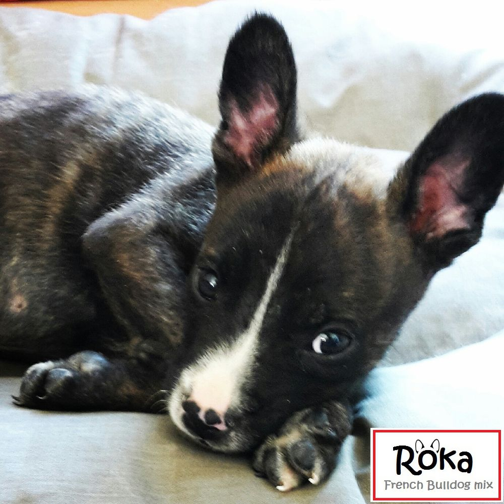 Roka Is A French Bulldog And Jack Russell Mix He Is 9 Weeks Roka Est Un Bouledogue Francais Croise Jack Russell Il A 9 Semaines Franzosische Bulldogge