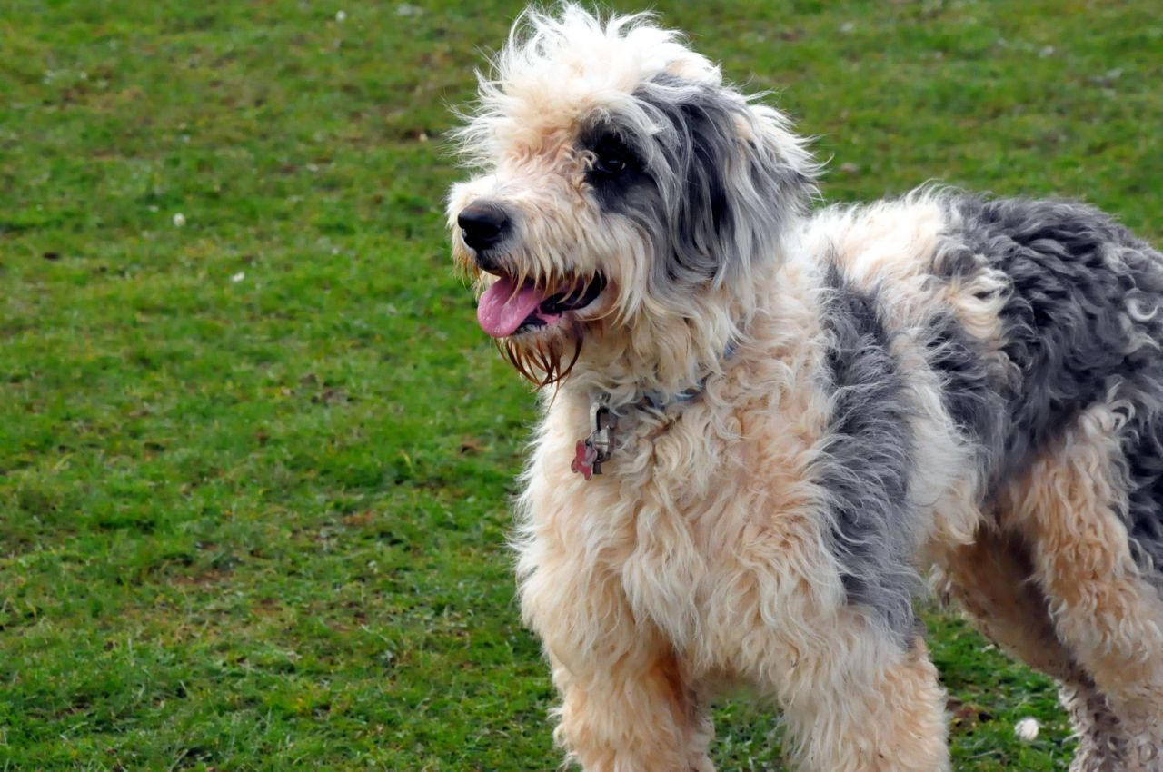 Old English Sheepdog And Bearded Collie Mix With Images Old