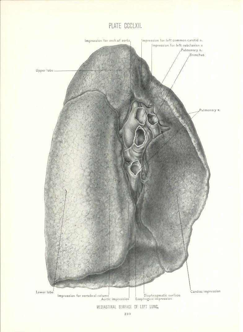 1926 Human Anatomy Print - Left Lung - Vintage Antique Medical ...