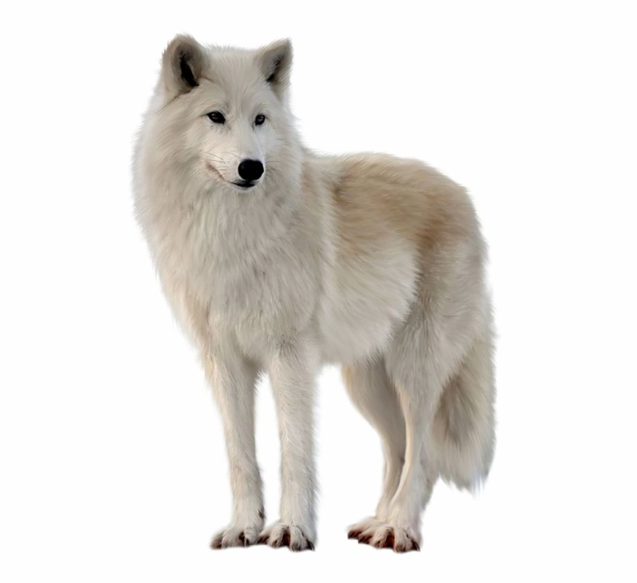 Png Imges Free Download White Wolf Transparent Is Found On Pngtube Download It Free And Share It With Your Sns Friends White Wolf Wolf Black Wolf