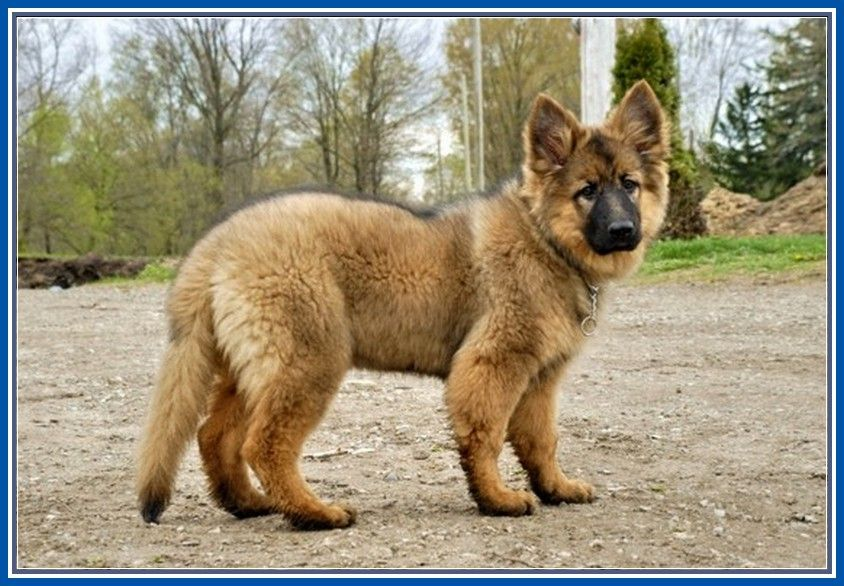 Super Long Haired German Shepherd Notice The Straight Back