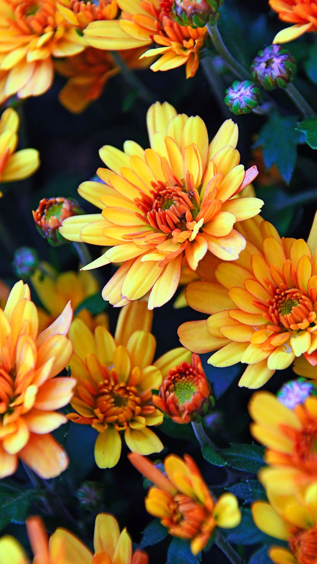 Autumn, yellow, flowers, chrysanthemum, 1080x1920