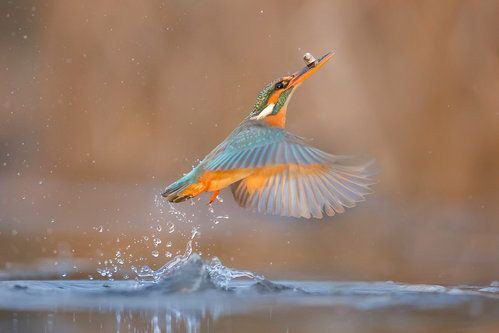 Common Kingfisher with Prey by Jeffrey Wu
