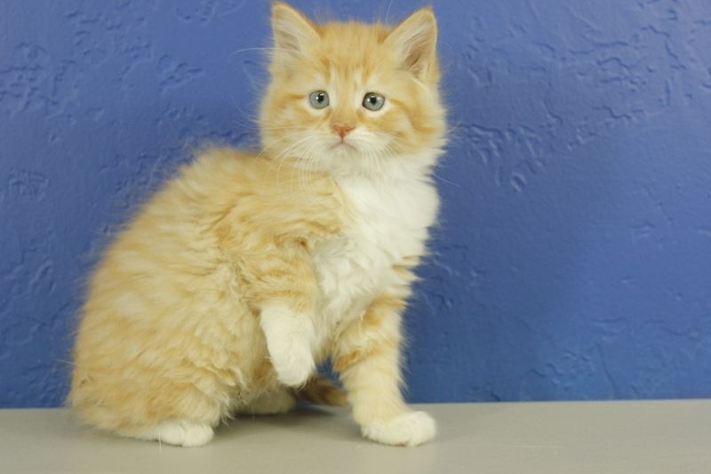 Red Tabby Mitted Ragdoll Kitten Munchkincat Munchkin Cat