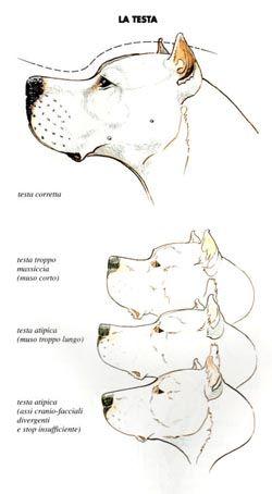 Dogo Argentino Pitbull Mix Google Search Pitbull Mix Cane Corso Dogo Argentino
