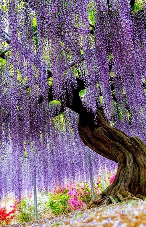 At The Wisteria Flower Tunnel At The Ashikaga Flower Park In Ashikaga City Tochigi Prefecture In Japan Beautiful Tree Beautiful Gardens Nature
