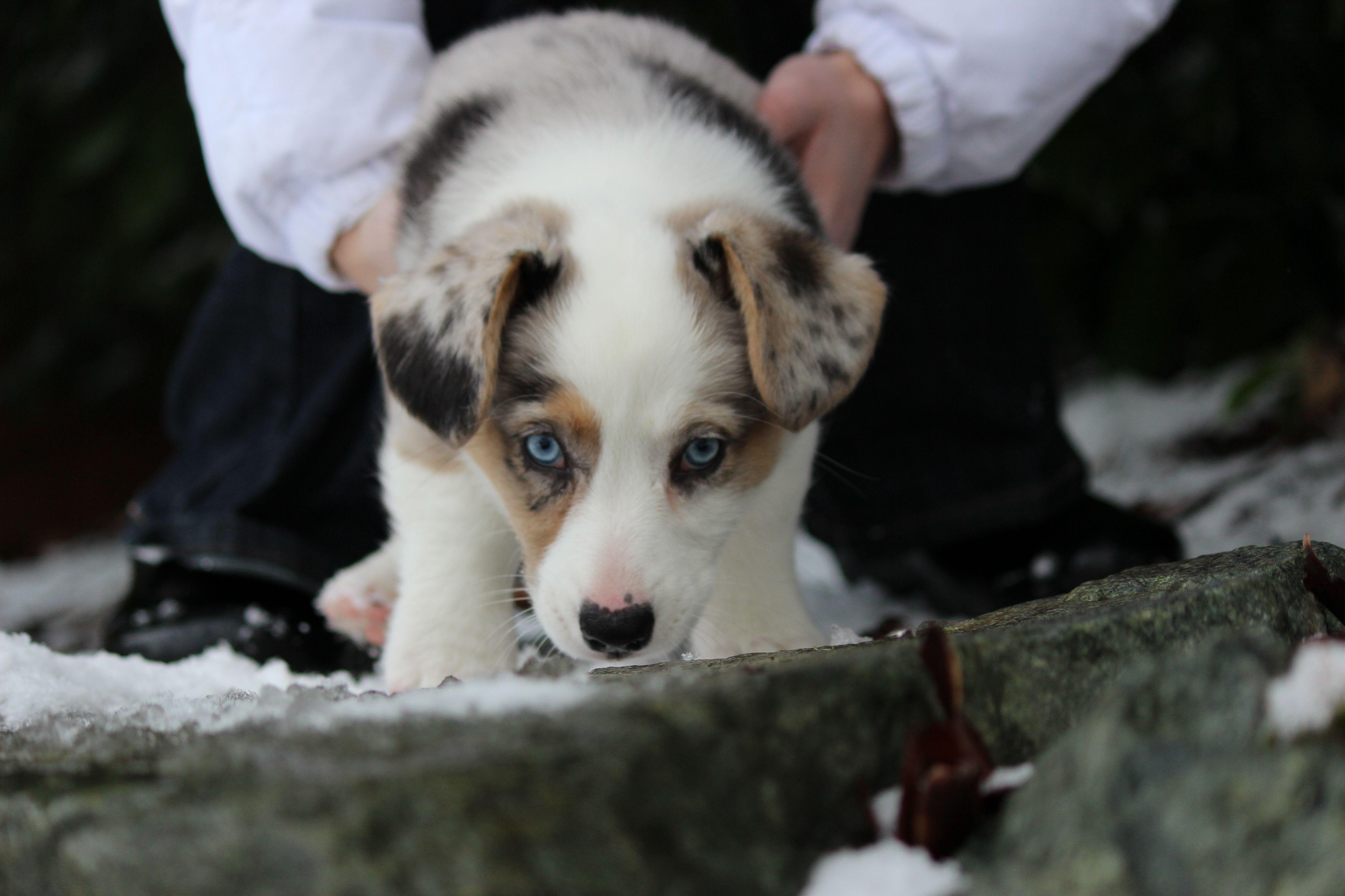 Sydney A Blue Merle Cardigan Corgi Corgi Cardigan Corgi Puppies