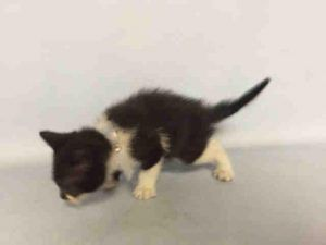 To Be Destroyed 07 07 16 Chancie Aka Chancie Is Just 5 Weeks Old Eats On His Own But Needs Medical Care For Heart Mu Saving Cat Cat Adoption Foster Cat