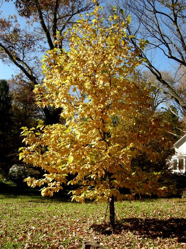 Many Magnolias Including Star Magnolia Turn A Lovely Yellow In The