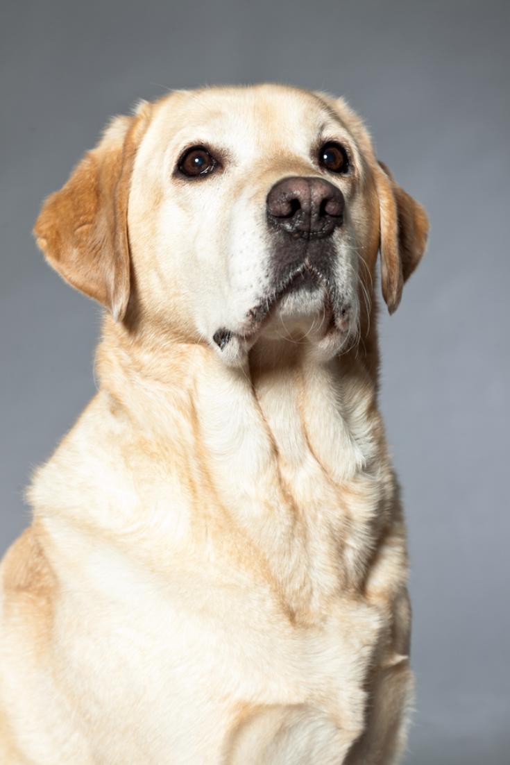 Blonde Labrador Retriever Dog Studio Shot Labradorretriever
