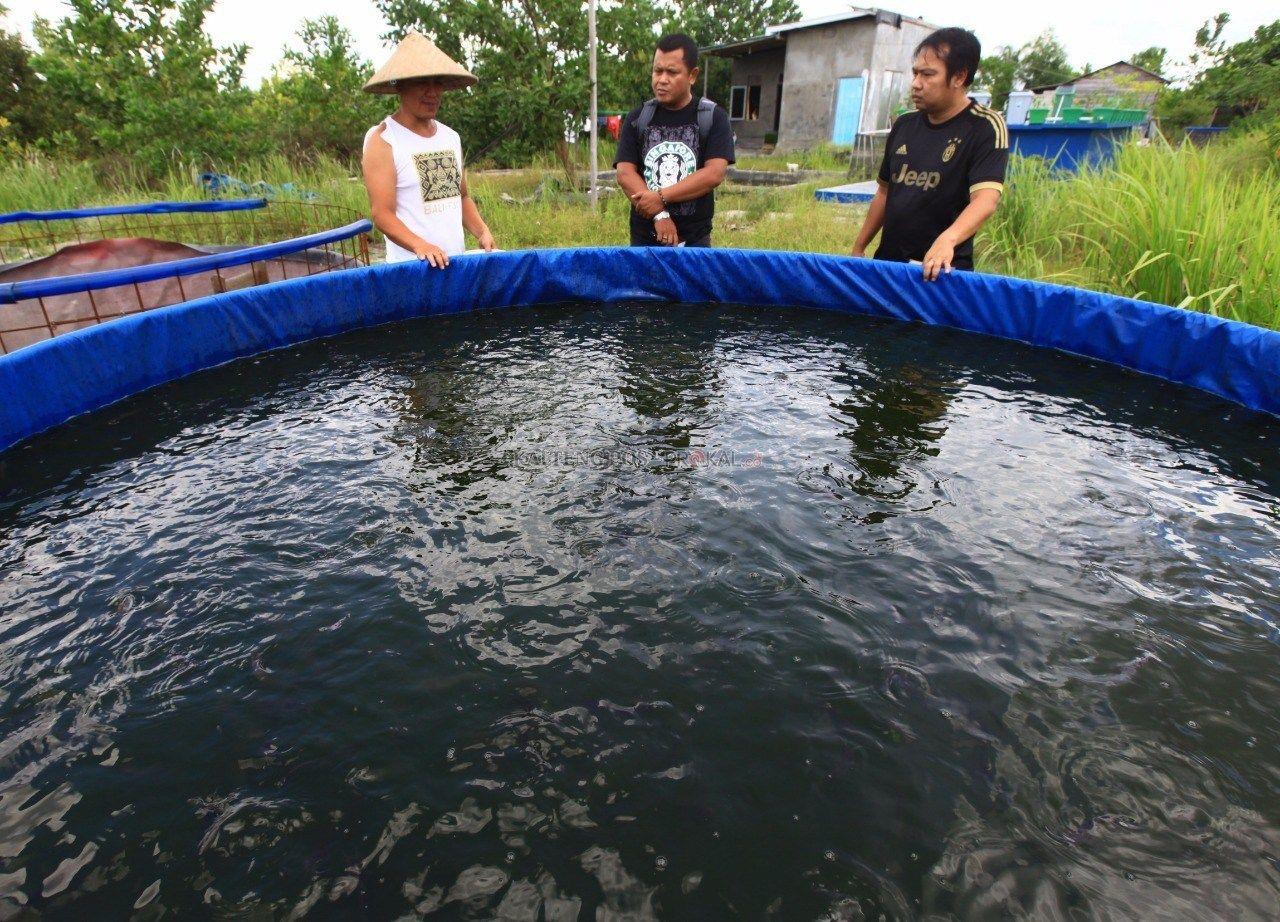 1 Rahasia Sukses Budidaya Ikan Gabus Di Kolam Terpal Kolam Terpal Ikan