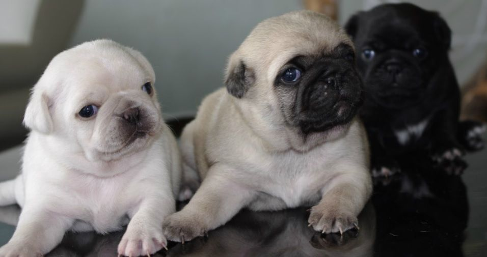 Cute Black Fawn White Pug Puppies I Will Take 1 Of Each