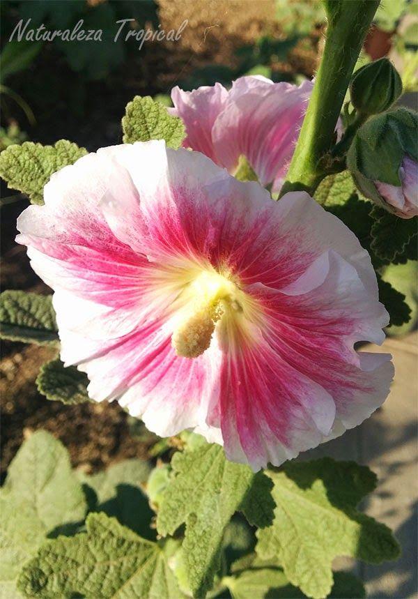 Flor varita de san jos matizada nombre com n de la flor for Origen de las plantas ornamentales