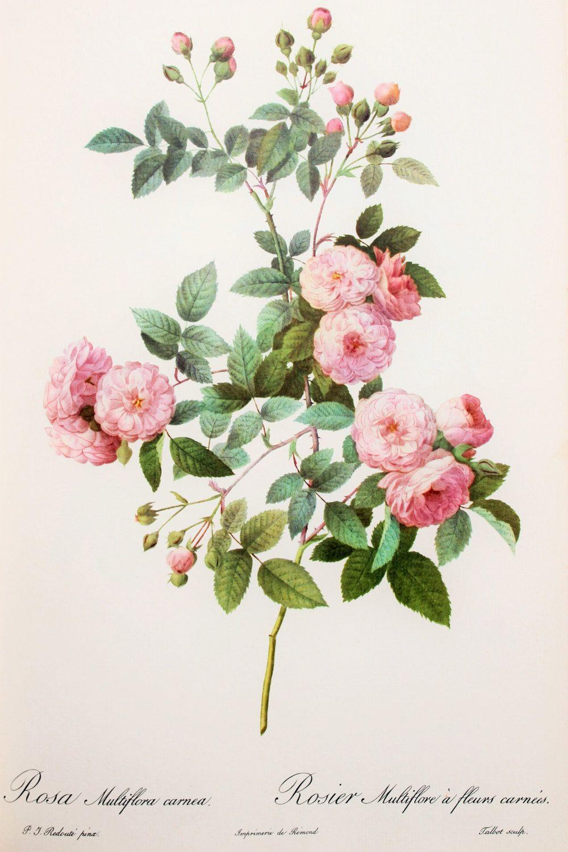 Initiative Antique Pierre Redoute Les Roses Signed Print White Flower Vtg Wood Gold Frame Art