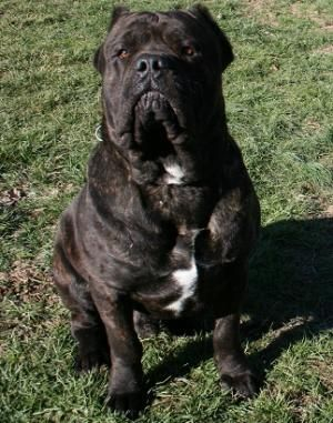 Cane Corso Cane Corso Cane Corso Dog Bully Breeds Dogs