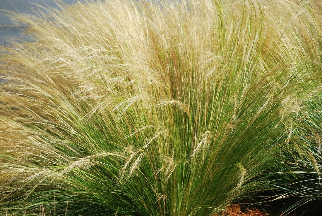 Nasella mexican feather grass view product website for Ornamental feather grass