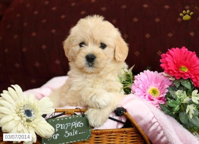 Mini Hava Doodle Puppy For Sale Puppies For Sale Havapoo