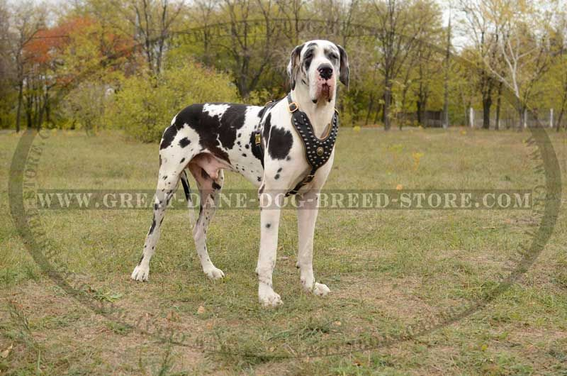Exclusive Design Studded Leather Harness For Great Dane Gentle