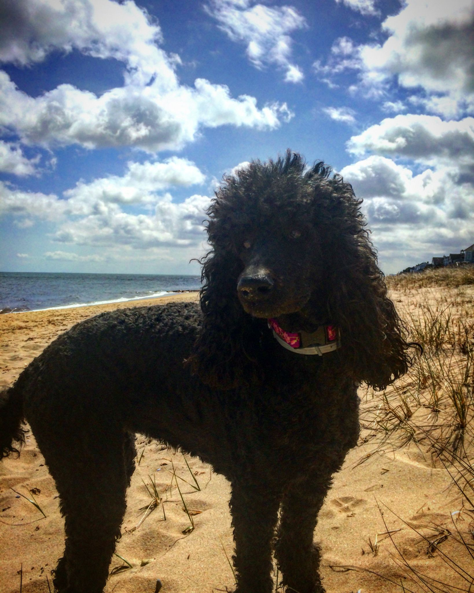 Beaching It With Abby Cape Cod Poodle Dog Parti Poodle Poodle