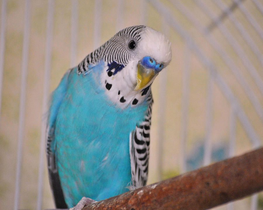 Rare Budgie Colors My name is Blaze. I live in Southern