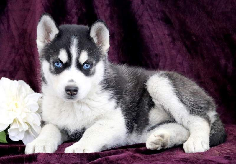 Hybrid Puppies For Sale Adoption Ad From Cedar City Utah Wolf