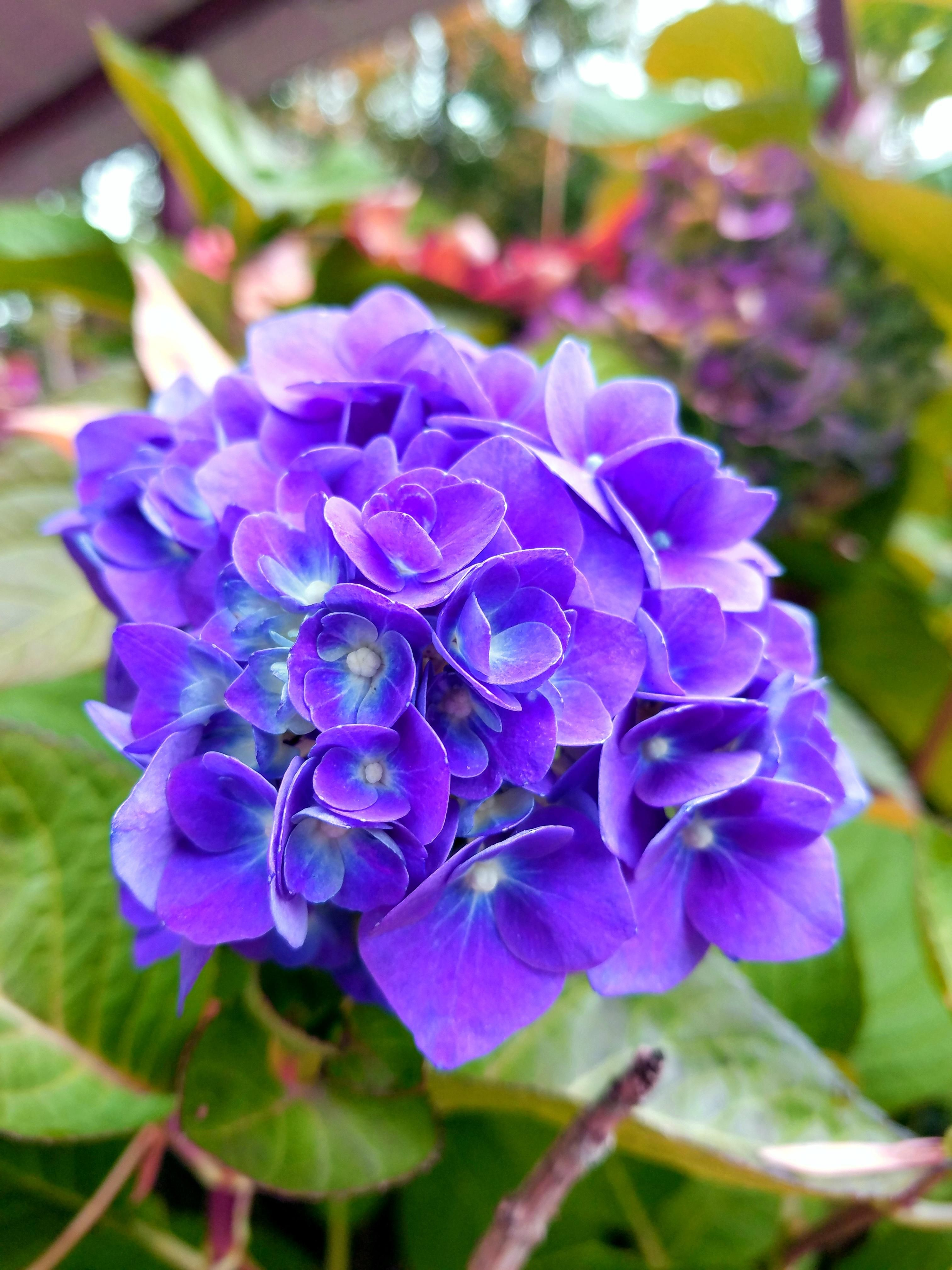 Our hydrangeas usually produce light blue flowers and have mostly our hydrangeas usually produce light blue flowers and have mostly gone dormant but this awesome late izmirmasajfo