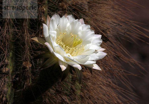 Bildergebnis für pachycereus pringlei blüte