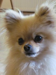 Pin By Leah Sturdivant On Animals Pomeranian Chihuahua Mix Pomchi Puppies Cute Baby Animals