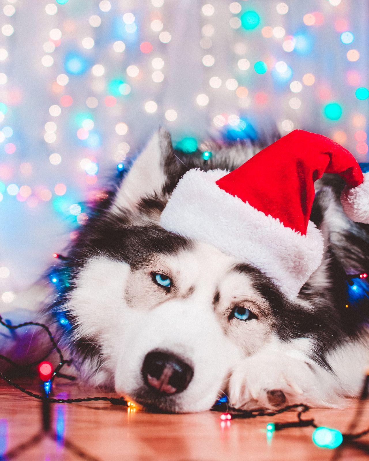 Siberian Husky Christmas Husky Puppy Alaskan Husky Husky Dogs