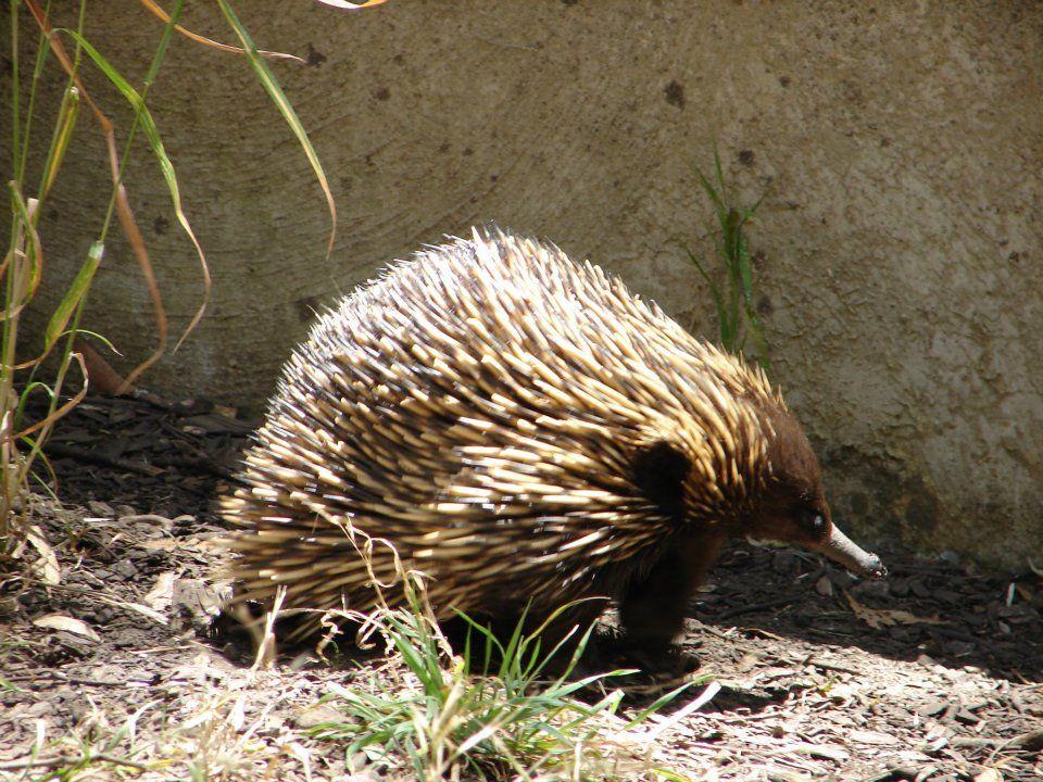 """Equidna (Tachyglossus aculeatus), mamífero primitivo """"Australian wildlife"""""""