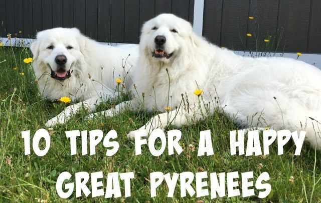 10 Tips For A Happy Great Pyrenees Great Pyrenees Pyrenees