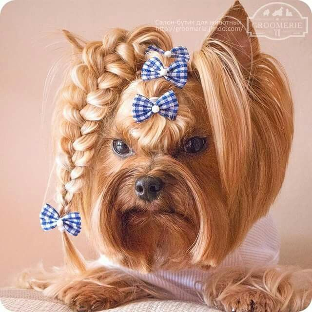Image Result For Yorkie With Blonde Head And Silver Back Yorkie Puppy Yorkie Haircuts Yorkshire Terrier