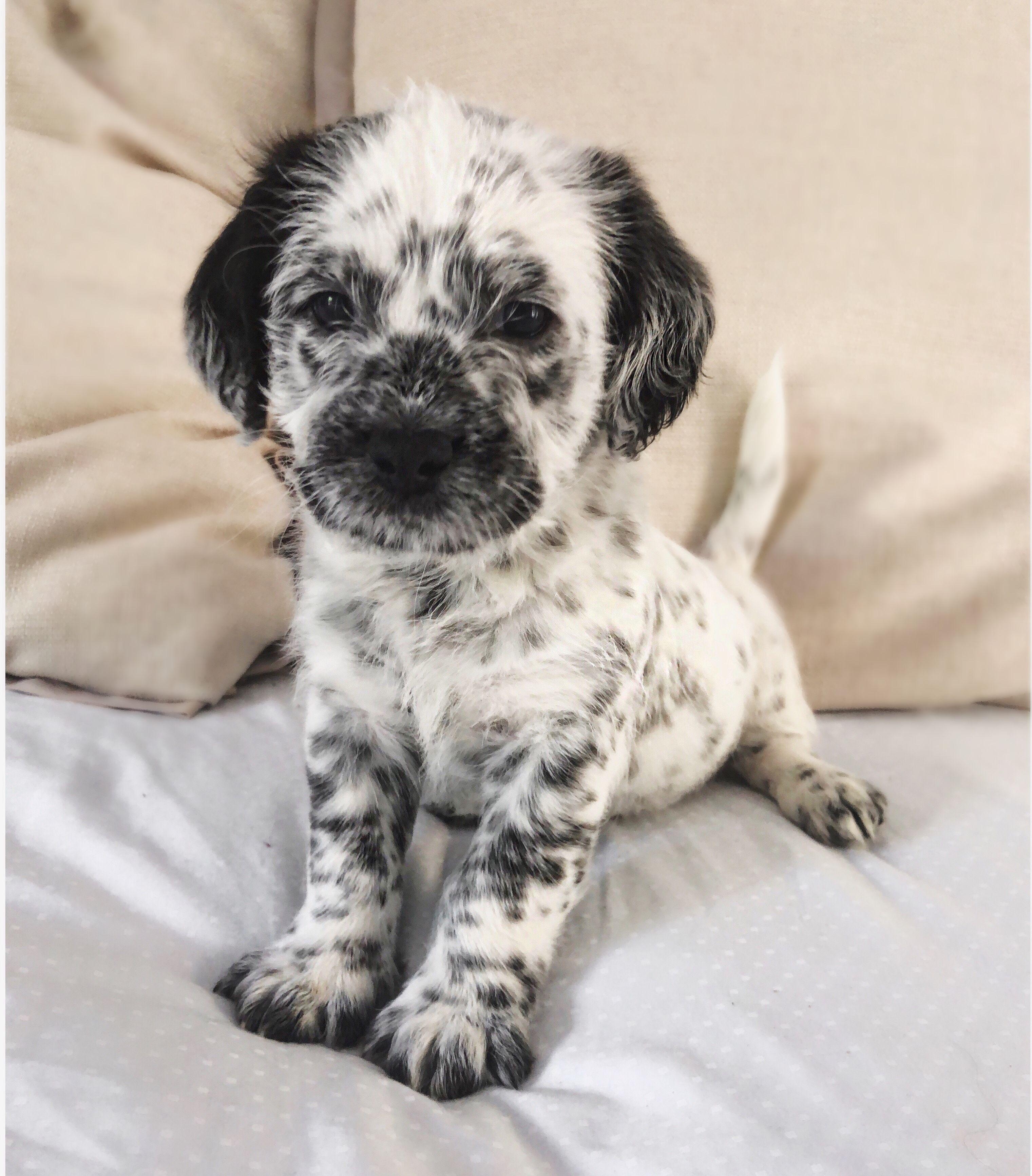 Adopt Tonks On Cute Animals Wolf Rescue Shih Tzu Mix