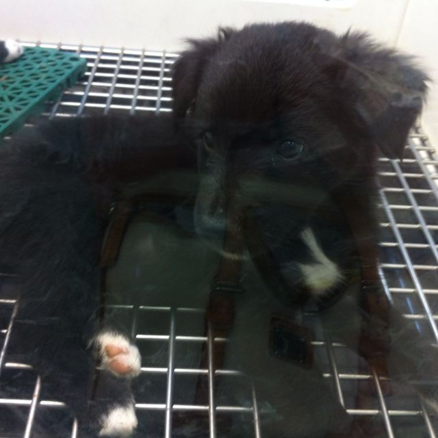 Solid Black Face Border Collie Puppy Collie Puppies Border