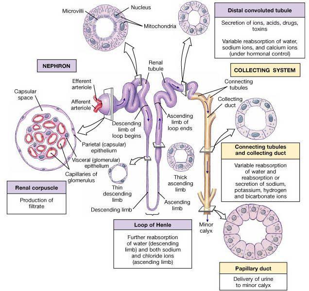 Urinary System Nursing Pinterest Medicine Med School And