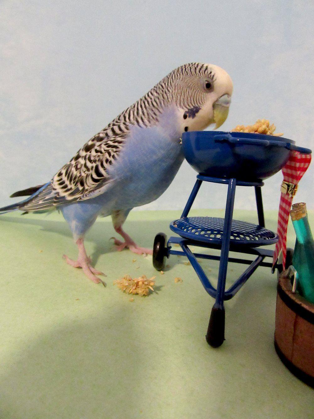 Cooperscorner Info Some Millet On The Barbie Funny Birds Budgies Bird Pet Birds